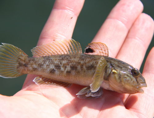 Questions about the Round Goby? FWWA Creates Round Goby FAQ
