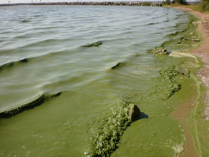 Is it safe to swim? Blue-green algae: How to reduce the