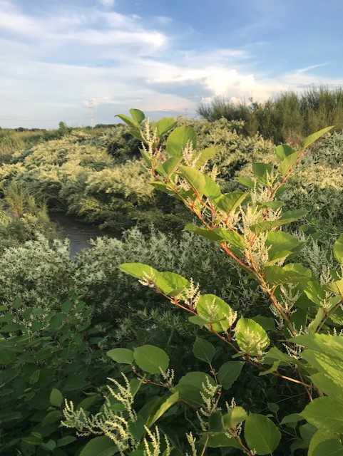 Japanese Knotweed In Your Garden: Have You Seen Me? Japanese Knotweed In Shawano County